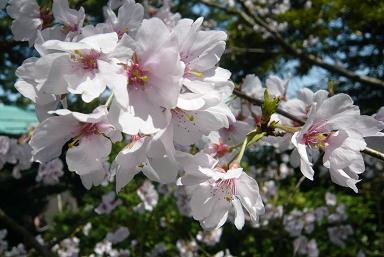 兼六園 桜3.JPG