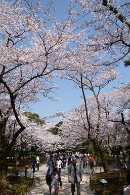 兼六園桜1.JPG