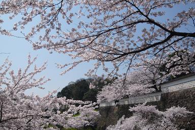 兼六園桜4.JPG
